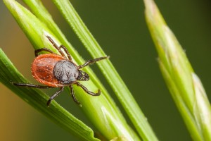 tick on grass blade