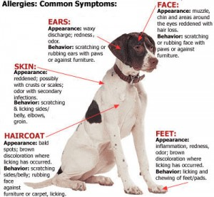 pointer allergy poster